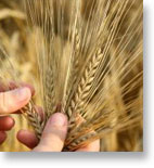 Wheat Market Trading